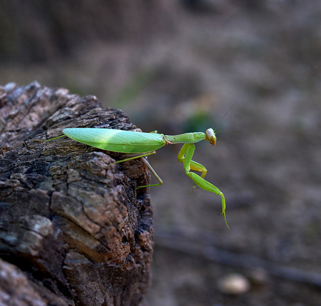 green mantis on a tree trunk, close up Stockfoto
