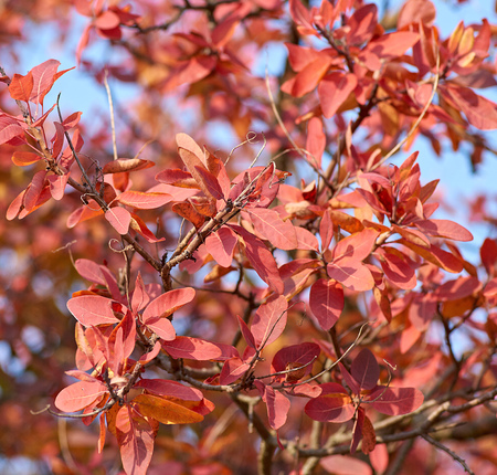 yellow and red leaves of Cotinus coggygria , close up