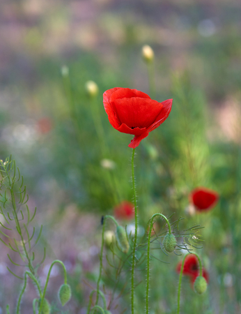 blooming red poppy in a field on a spring afternoon , selective focus