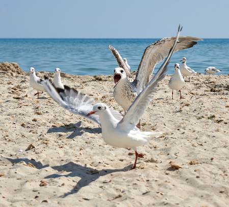 big white sea gulls on the sandy coast of the Black Sea on a summer day, Ukraine