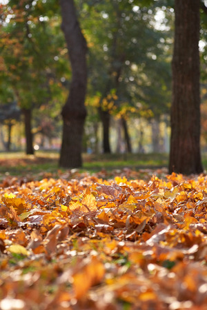 autumn city park with trees and dry maple yellow leaves on the ground, Ukraine Kherson