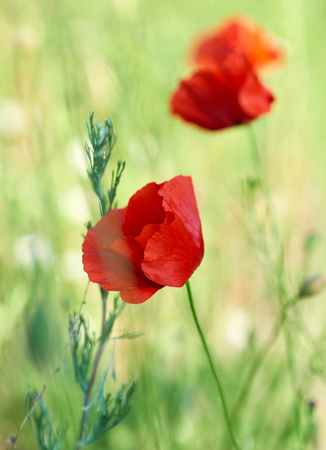 blooming red poppy in the field in the spring afternoon, soft focus