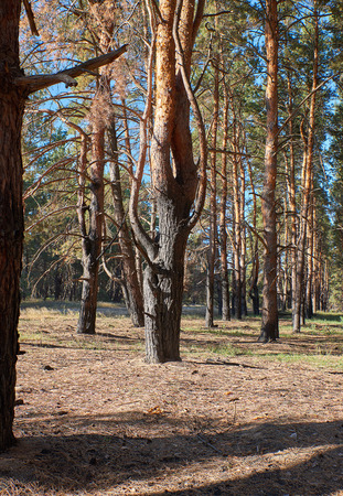 Burnt pine trunks in the forest, summer day, Ukraine. Kherson Stockfoto