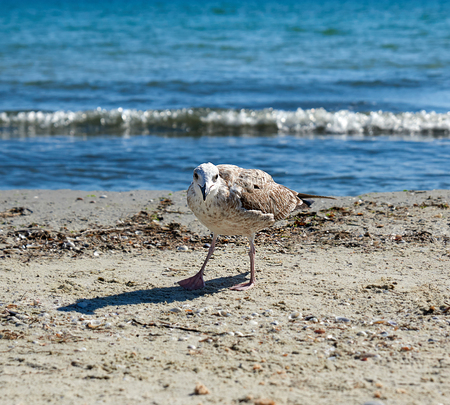 large seagull on the sandy shore of the Black sea, the village of Iron Port of Ukraine