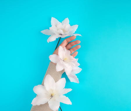 female hand holding blooming white clematis buds on a blue background,  fashionable concept for hand care, anti-aging care, spa treatments Stockfoto