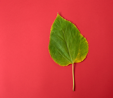 green leaf of a mulberry on a red background, close up Stockfoto