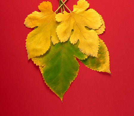 three green and yellow leaves of a mulberry on a red background, close up Stockfoto