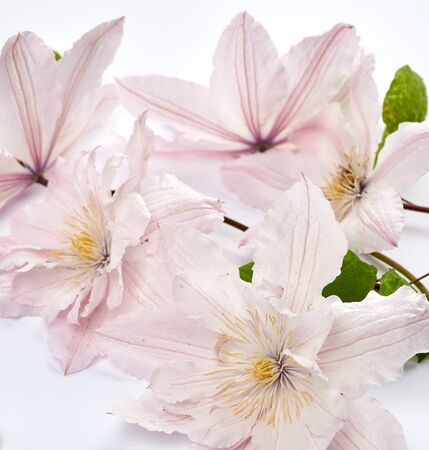 bouquet of pink clematis flowers on white background, close up