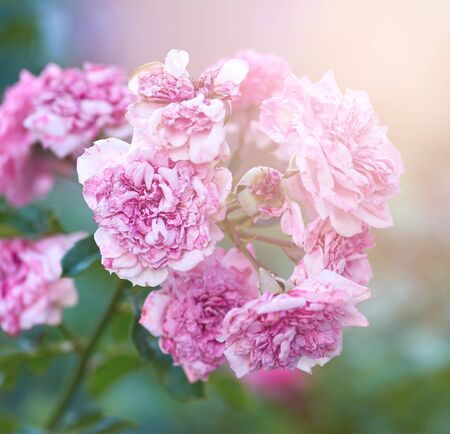 bush of roses with faded pink flowers on a summer evening, close up Banque d'images