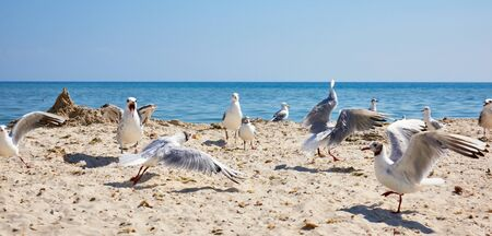 large flock of white seagulls on the sandy shore of the Black Sea, the village of Iron Port, summer day