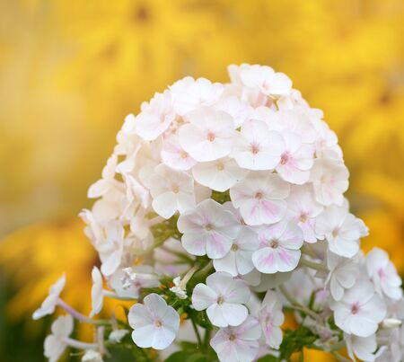 white blooming Phlox paniculata is a perennial herb, species of the genus Phlox of the family Cyanosis (Polemoniaceae)