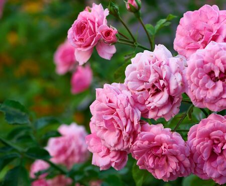 buds of pink blooming roses in the garden, green background, close up Stock fotó