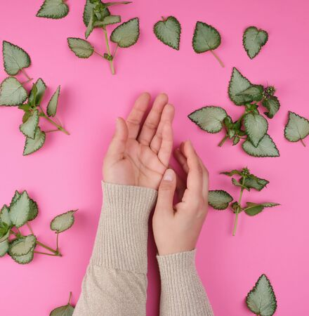 two female hands  and fresh green leaves of a plant on a pink background, top view. Concept of natural care cosmetics for skin against wrinkles and aging Banco de Imagens