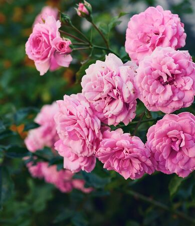 buds of pink blooming roses in the garden, green background, close up 写真素材