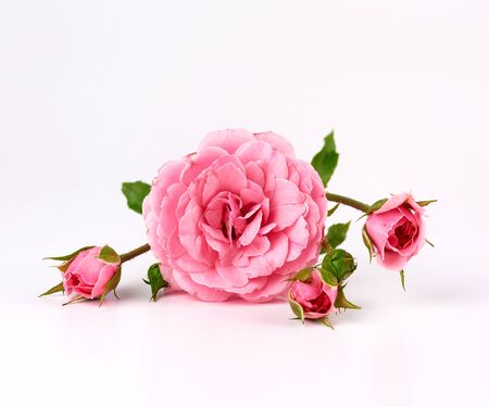 twig with a bud of a blooming pink rose on a white background, close up