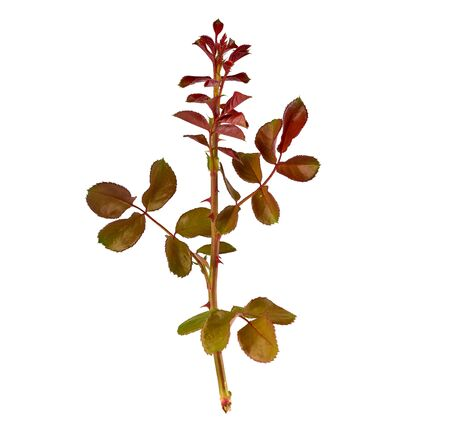 young rose branch with purple and green leaves on a white background, close up Stock fotó