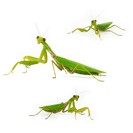 set of three green mantis in full length, insect stands on a white background in different poses