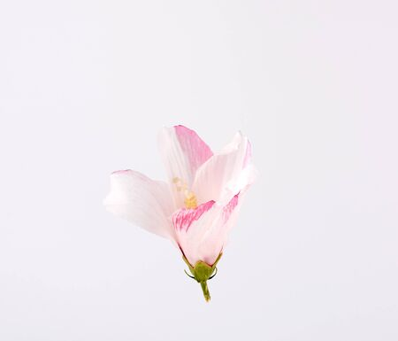 closed bud of pink-white hibiscus on a white background, close up Stok Fotoğraf