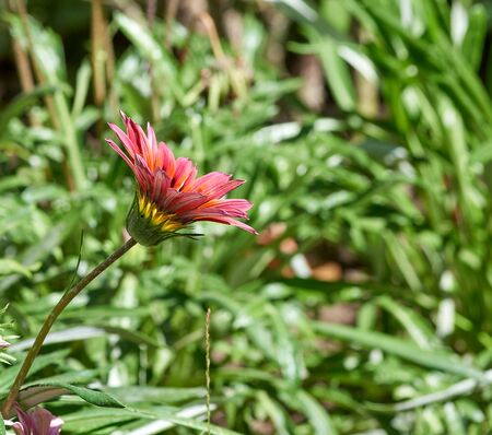 blooming buds of pink Gazania, summer day, close up Banque d'images