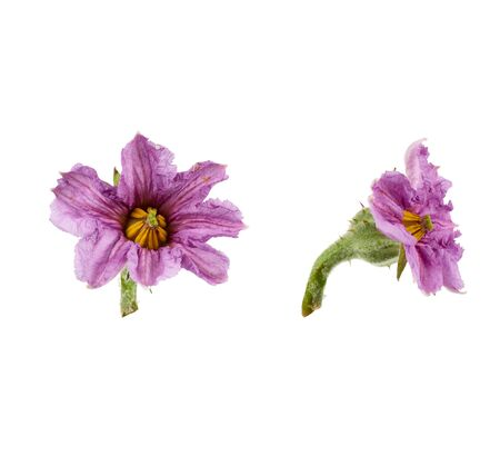 set of purple blooming eggplant flowers isolated on white background, close up