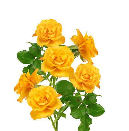 beautiful bouquet of blooming yellow roses on green stems with leaves Isolated on a white background