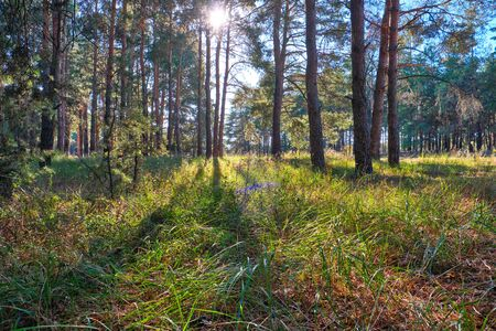 green coniferous forest on a sunny autumn day, Ukraine, bright rays of the sun shine through the crowns of trees