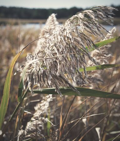 dry stalks of reeds at the pond sway in the wind on an autumn day, Ukraine