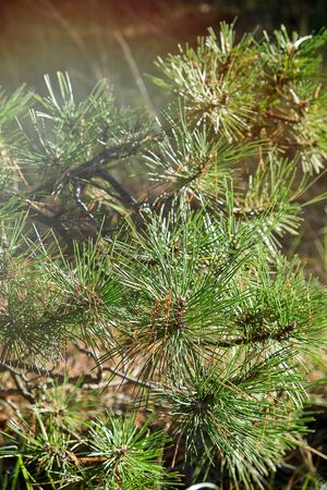green pine branch on an autumn day, close up Фото со стока