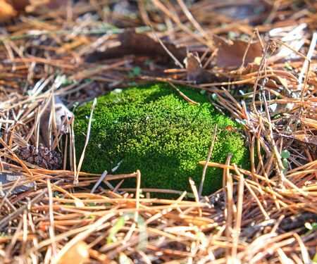 growing green moss in the middle of forest needles on an autumn day, close up