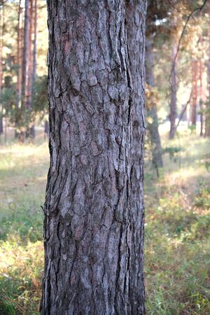 round growing pine trunk in the forest, autumn day, close up Фото со стока