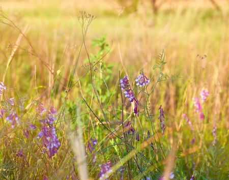 Ukrainian steppe on a spring day, blooming blue mouse peas, Vicia cracca Standard-Bild - 131810055
