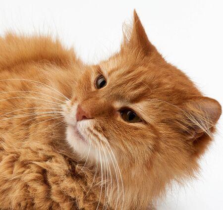 Maulkorb erwachsene große flauschige rote Ingwer Hauskatze sitzt seitlich auf weißem Hintergrund, Tier schaut weg Standard-Bild