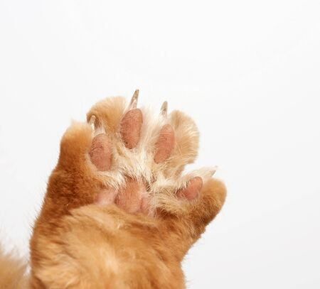 paw of a red cat with claws on a white background, close up