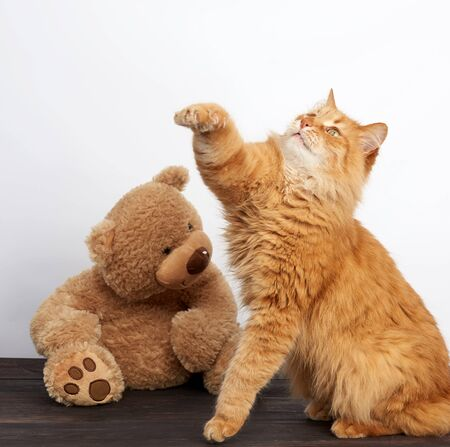 adult ginger cat and big teddy bear on a white background, close up
