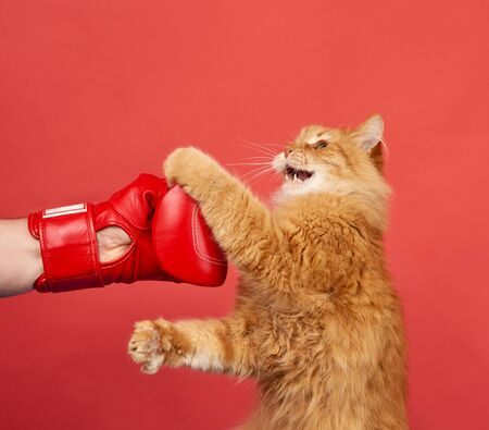 adult red cat fights with a red boxing glove. Funny and playful on a red background.