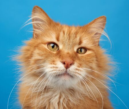 portrait of adult ginger fluffy cat on a blue background, close up