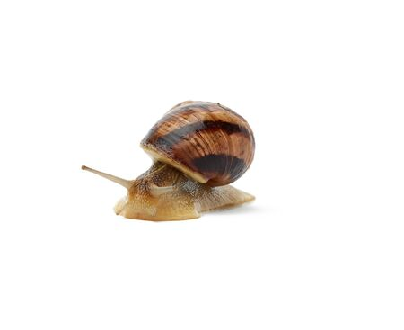 brown snail isolated on white background, close up