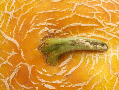 yellow ripe melon texture, full frame, close up