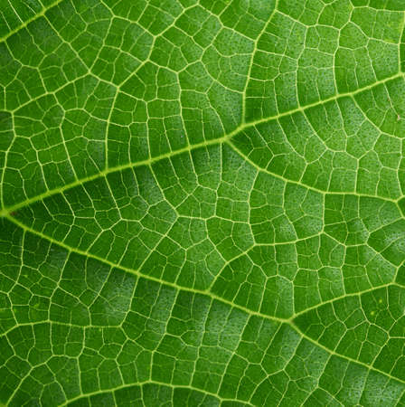 texture of green cucumber leaf, close up, full frame