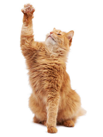 Cute adult fluffy red cat sitting and raised its front paws up, imitation of holding any object, animal isolated on a white background