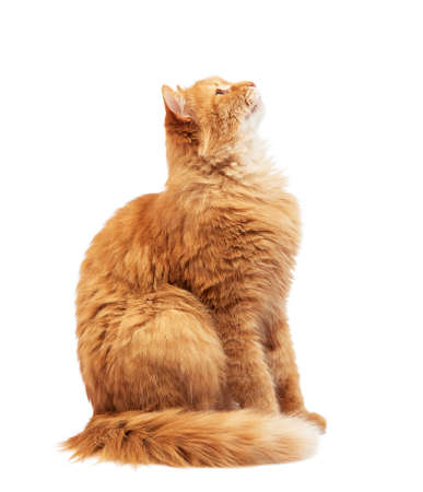 adult fluffy red cat sits sideways, cute face, animal isolated on white background, look up