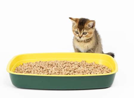 Kitten golden ticked scottish chinchilla straight sitting next to a plastic toilet with sawdust. Animal on a white background, toilet training Standard-Bild