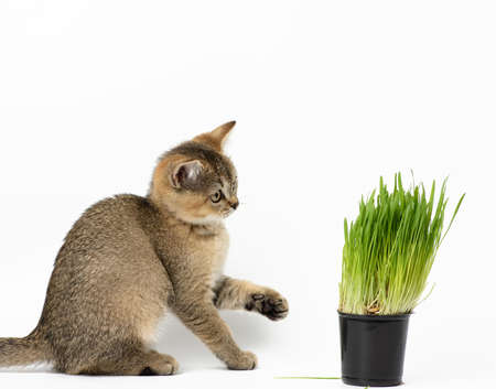 Kitten golden ticked Scottish chinchilla straight sits on a white background, next to a pot of growing green grass Banque d'images