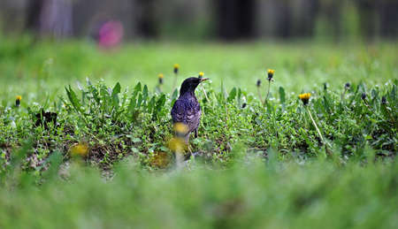 starling sits on the ground among green grass in the park on a spring day, banner