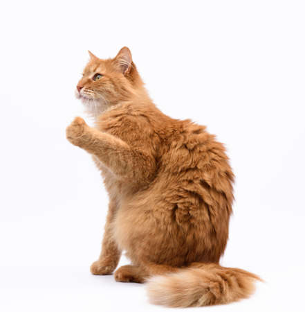 adult red cat sits sideways and raised its front paws up, white background 免版税图像