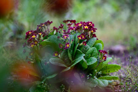 bush with large green leaves and red flowers Primula acaulis in the garden on a spring afternoon 免版税图像