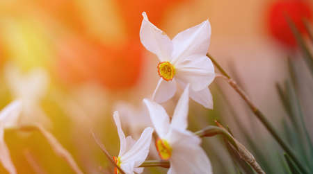 white blooming daffodil flower in a spring afternoon, close up