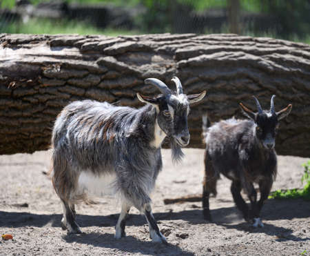 young domestic goats walking on a spring day