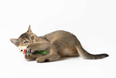 cute kitten scottish straight plays with a toy on a white background, cheerful cat