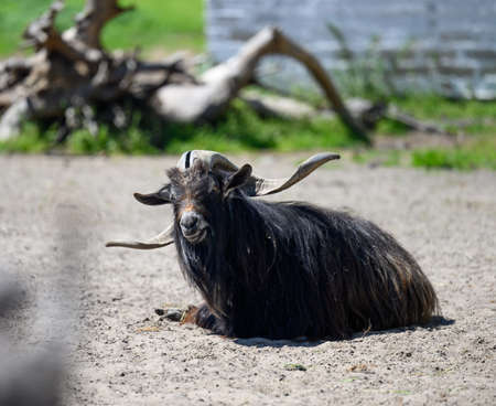 an adult black domestic goat with large horns lies on the ground on a spring day